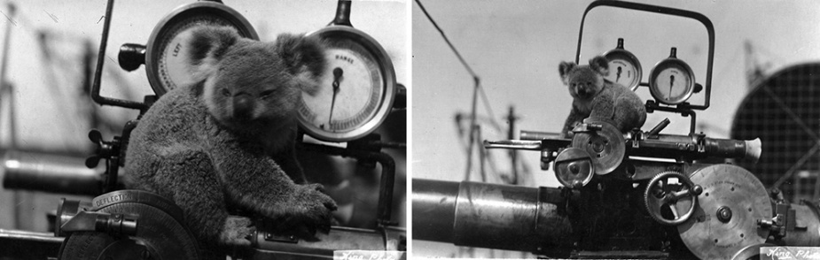 This koala was an unusual but popular visitor to HMAS Warrego.